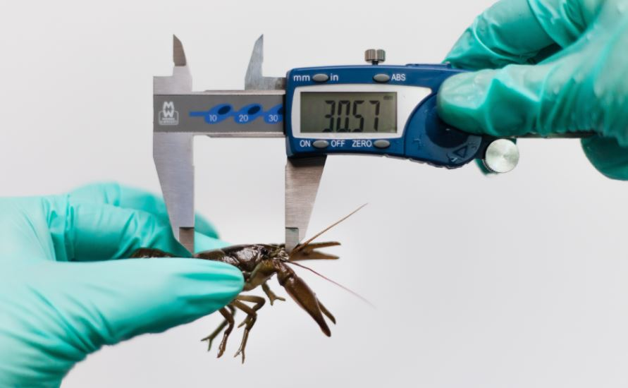 September 2018: Water Resistant Digital Calipers Measure Crayfish for Native Species Program at Paignton Zoo