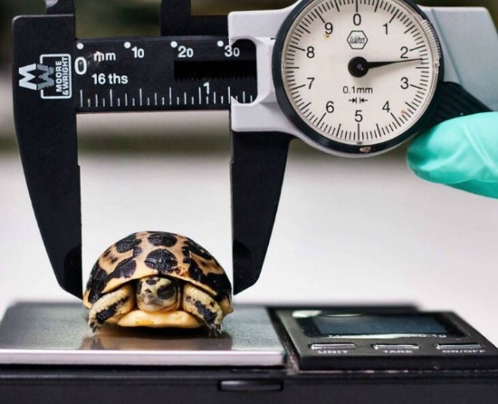 June 2018: Critically Endangered Spider Tortoises at Paignton Zoo Measured with Moore & Wright Calipers